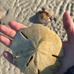 Sand dollars off spoil islands in the intracostal waterway