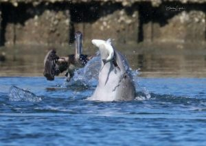 Dolphin catching fish in it's mouth