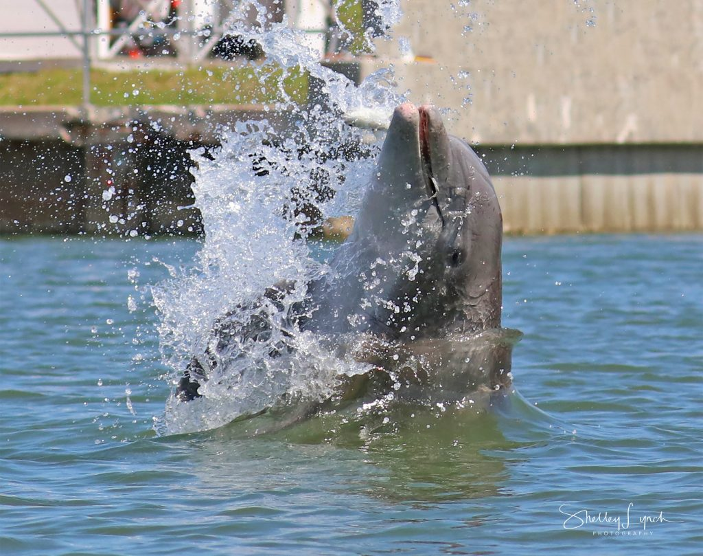 A dolphin playing