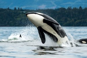 Orca whale jumping out of the sea
