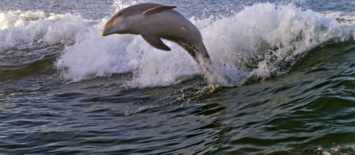 Joyfully Leaping Bottlenose Dolphin in Clearwater Bay, Florida
